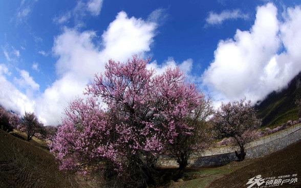西藏林芝:在那桃花盛开的地方