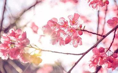 【花开贵州】花开贵州 百里杜鹃-平坝樱花-黄果树瀑布-彝山花谷-格凸河景区-大河苗寨-九洞天景区-毕节6日深度游